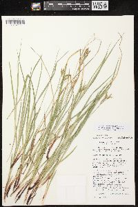 Image of Carex x knieskernii