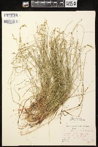 Image of Carex chordorrhiza