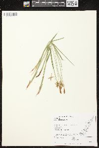 Image of Carex castanea