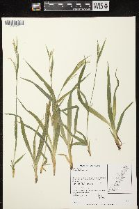 Image of Carex laxiflora