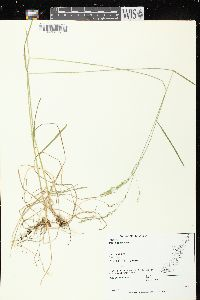 Image of Poa alsodes