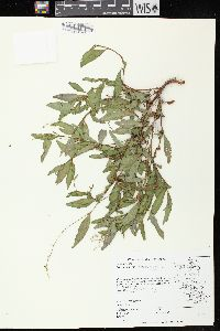 Image of Polygonum hydropiper