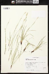 Image of Carex assiniboinensis