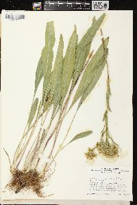Image of Solidago ohioensis
