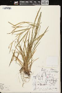 Image of Carex ormostachya