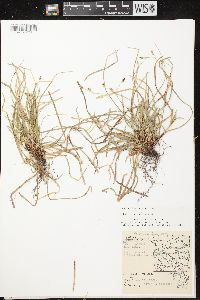 Image of Carex pedunculata