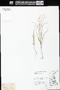 Image of Polygonum tenue