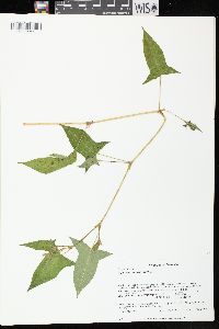 Image of Polygonum arifolium
