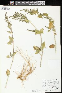 Image of Atriplex hastata
