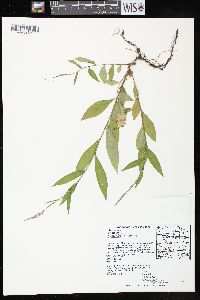 Image of Polygonum cespitosum