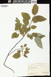 Image of Salix pyrifolia