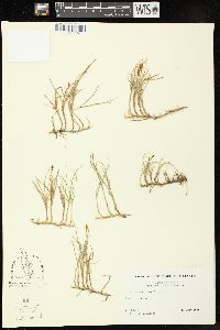 Image of Carex anthoxanthea