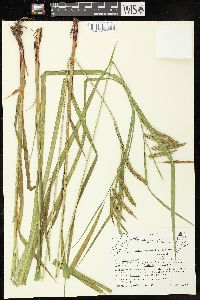 Image of Carex gynandra