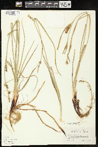 Image of Carex houghtoniana
