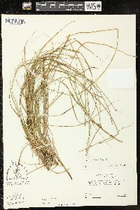 Image of Carex ruthii