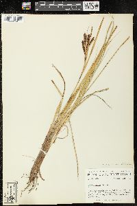 Image of Carex recta
