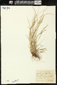 Image of Carex saximontana