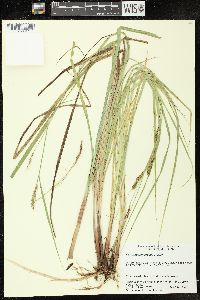 Image of Carex x subimpressa