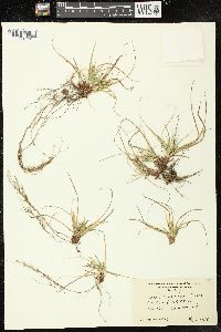 Image of Carex tonsa