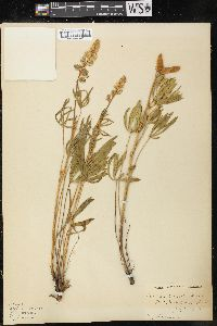Image of Lupinus humicola