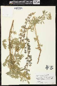 Image of Lupinus klamathensis