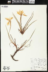 Image of Iris chrysophylla