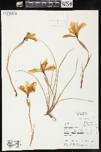 Image of Iris thompsonii