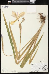 Image of Iris virginica