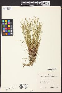 Image of Juncus abortivus