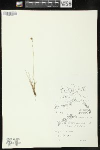 Image of Juncus albescens