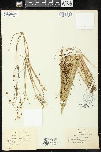 Image of Juncus richardsonianus