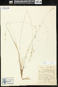 Image of Juncus anthelatus