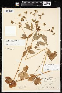 Image of Sanicula canadensis