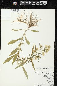 Image of Aster prenanthoides