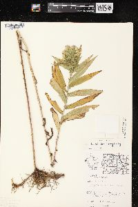 Image of Aster firmus