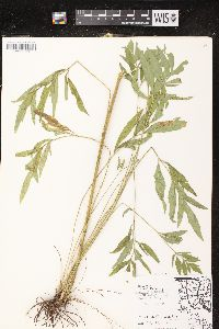 Ratibida pinnata image
