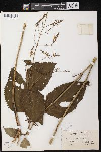 Image of Collinsonia canadensis