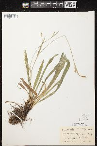 Image of Carex careyana