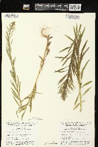 Conyza canadensis image