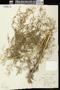 Bassia scoparia subsp. scoparia image