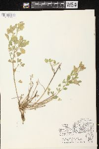 Medicago sativa image