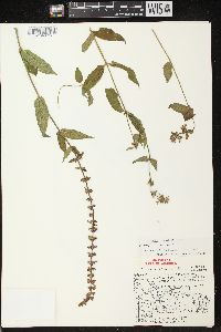 Image of Stachys tenuifolia