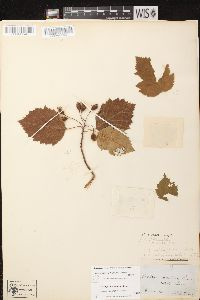 Crataegus mollis image