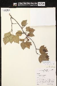 Image of Crataegus dissona