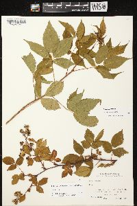 Image of Rubus canadensis
