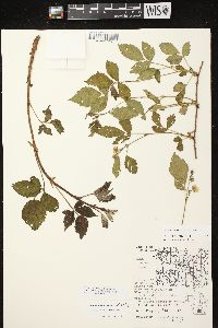 Image of Rubus curtipes