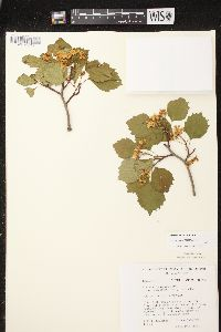 Image of Crataegus scabrida