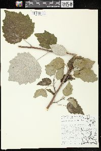 Image of Populus x canescens