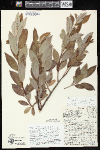 Image of Salix x conifera