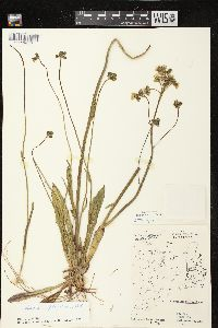 Image of Hieracium piloselloides